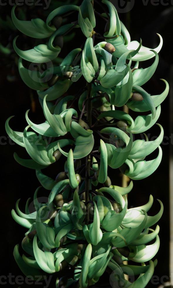 Jade Plant photo