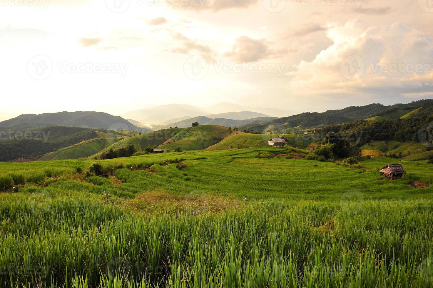 Rice Paddy Plants photo