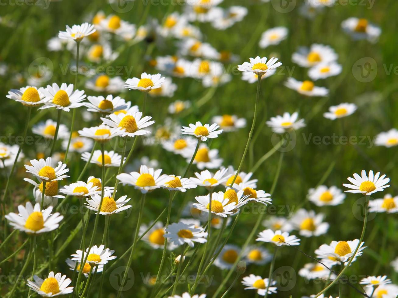 anthemis arvensis planta y flores foto