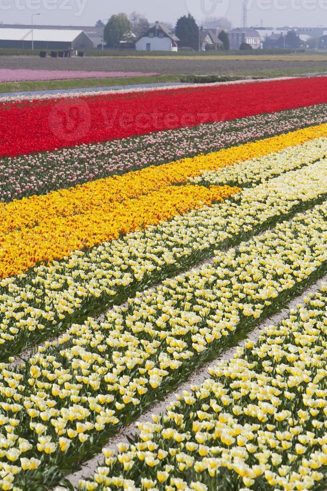 Tulip fields photo