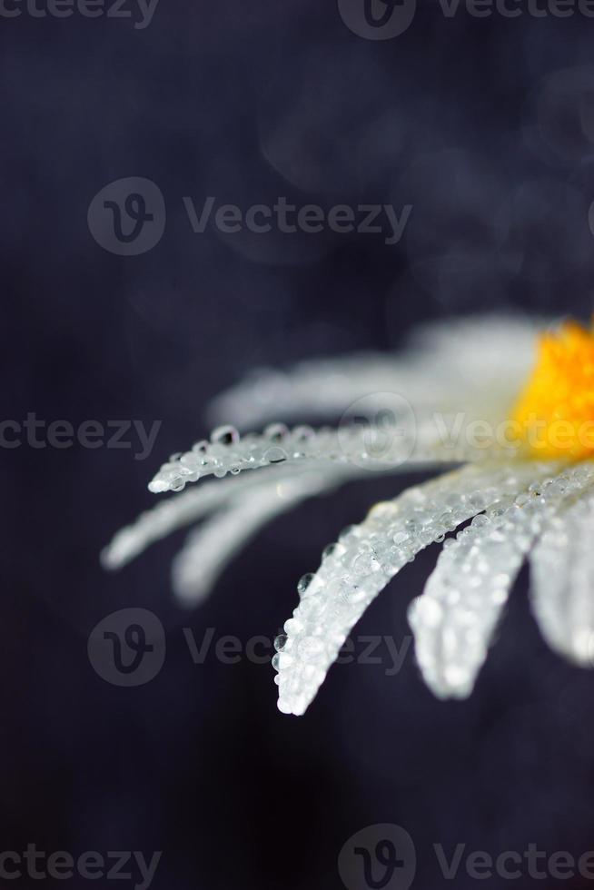 macro artística de la flor de la margarita mojada, ama la naturaleza, borrosa, minimalista foto