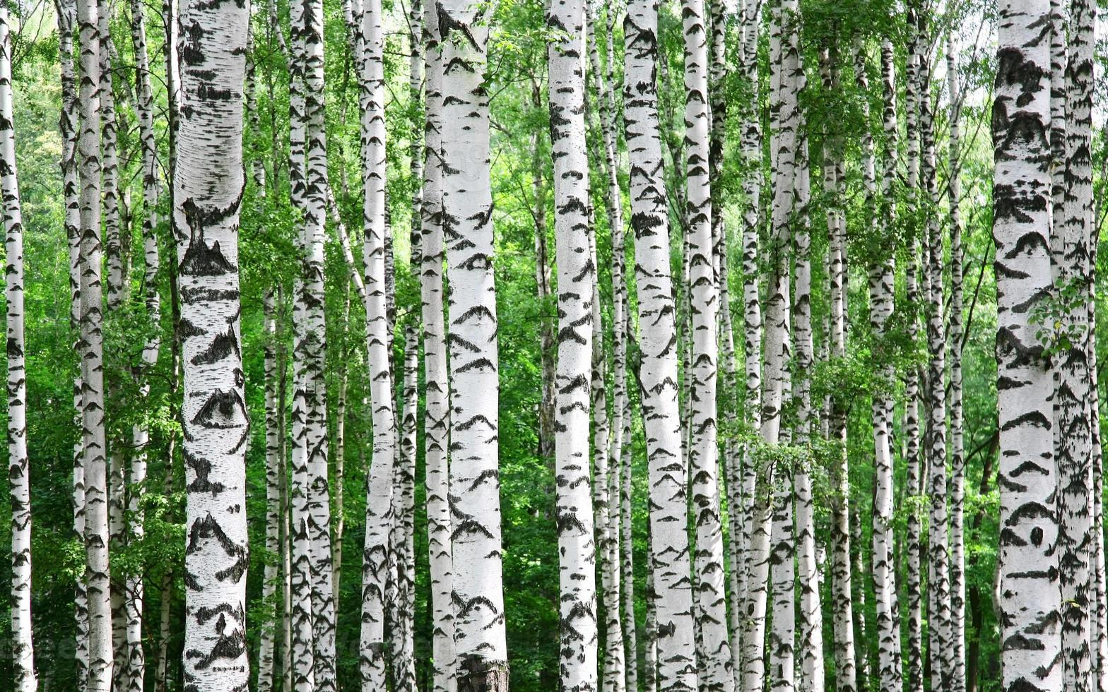 Trunks of birch trees in summer photo