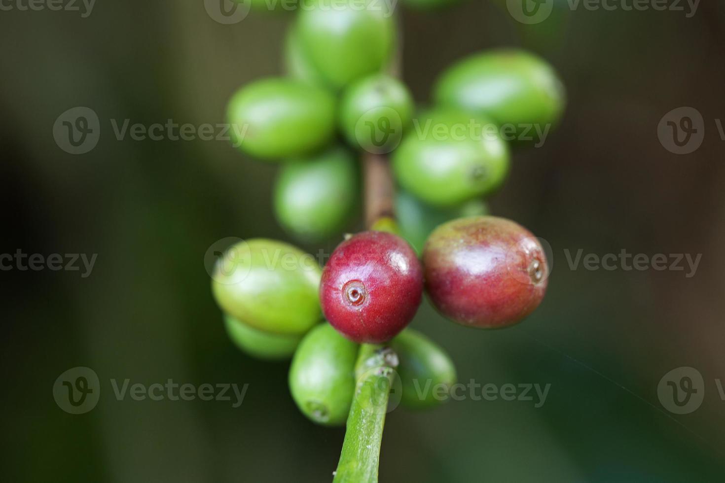 granos de café madurando en la planta foto