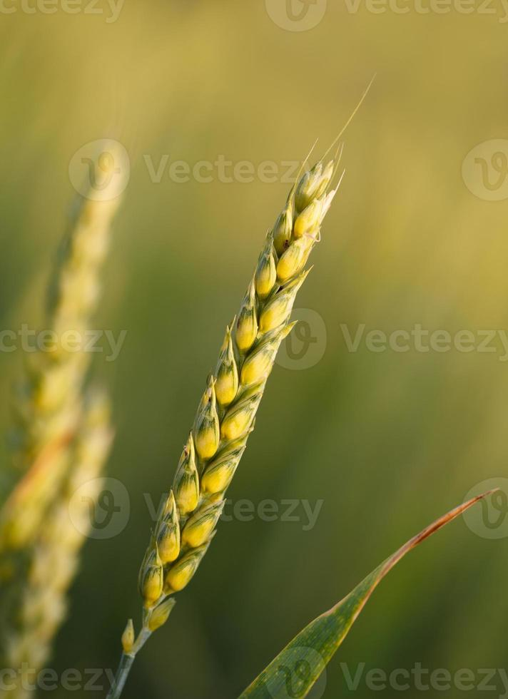 espiga de trigo foto
