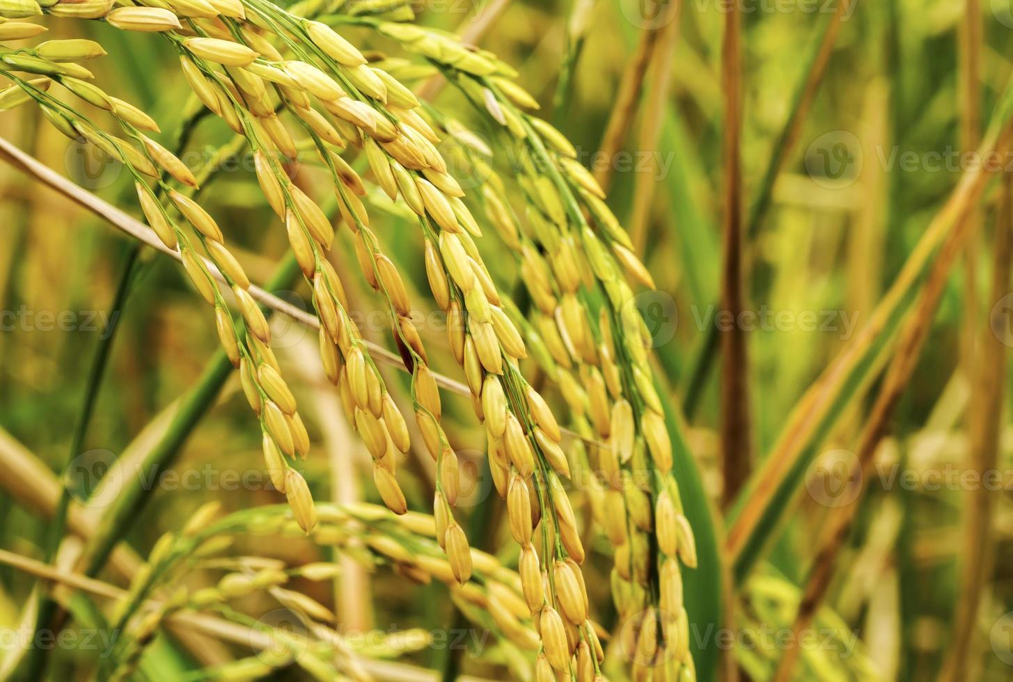 orejas de arroz foto