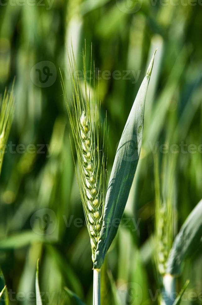 Green Ear photo