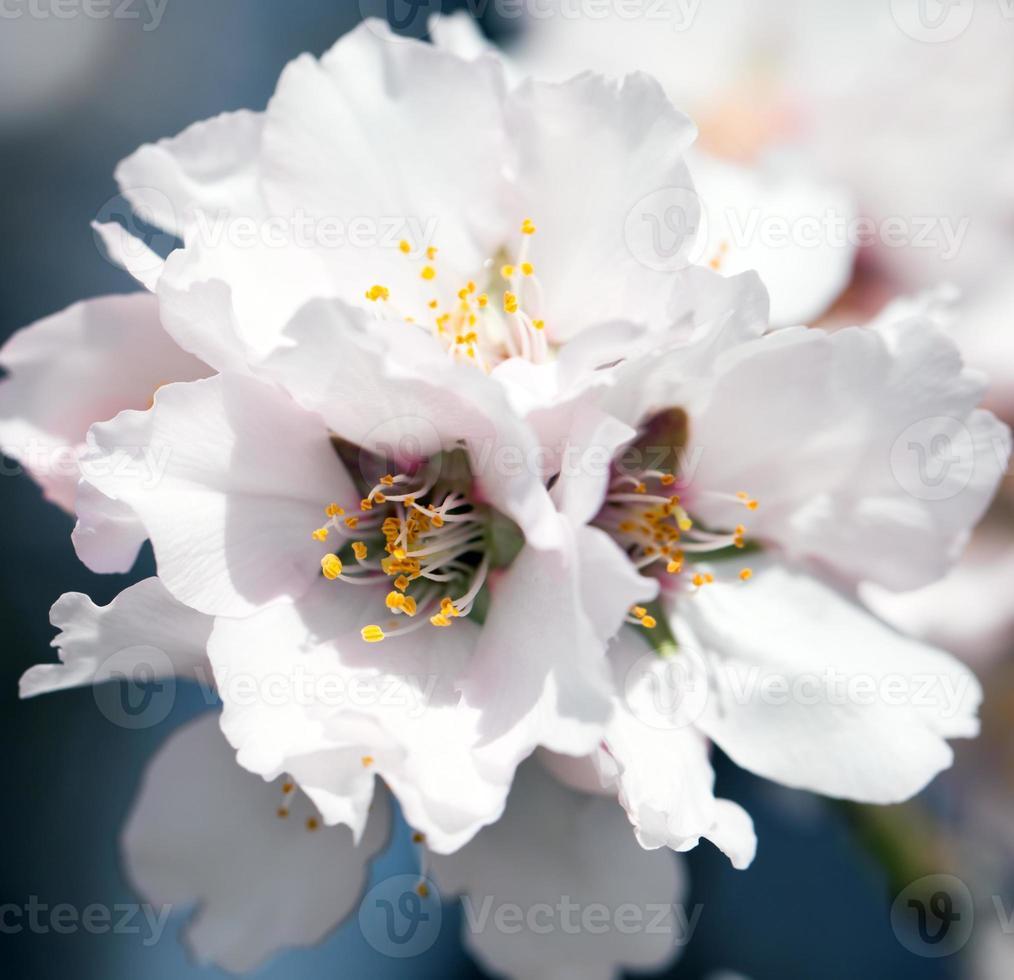 Blossoming almond tree photo