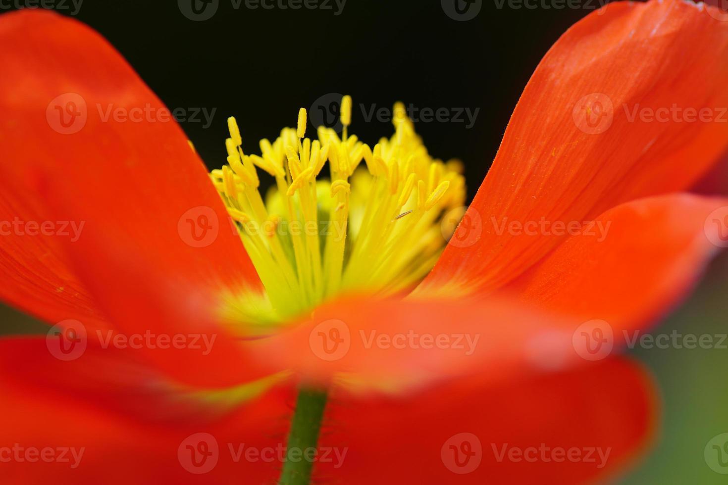 Digital art, paint effect, Macro of corn poppy flowers photo