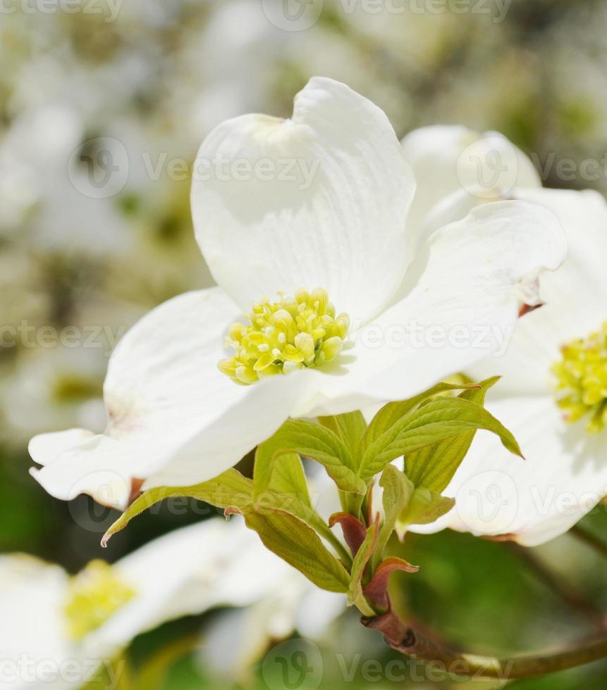 White dogwood photo