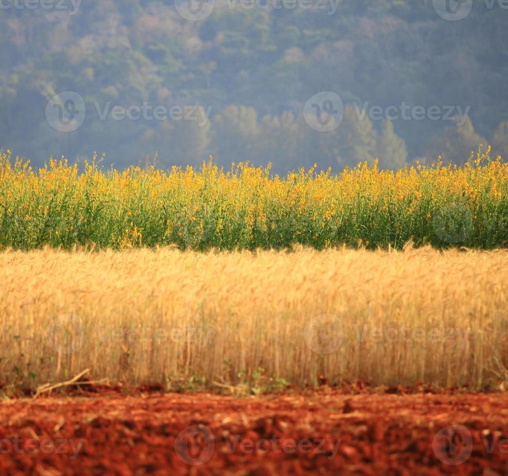 Beautiful golden wheat field, yellow flower, mountain background photo