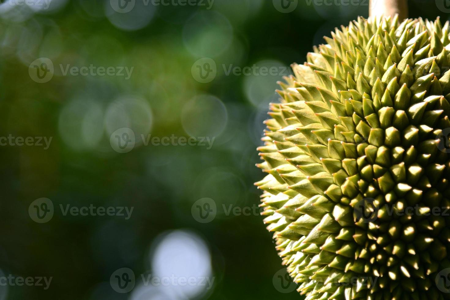 Durian fruit on tree close-up at garden, Thailand photo