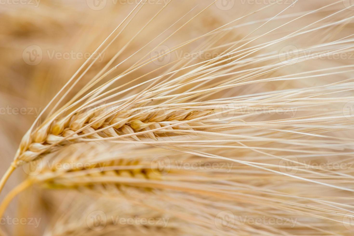 plantas de cereales, cebada, con diferente enfoque foto