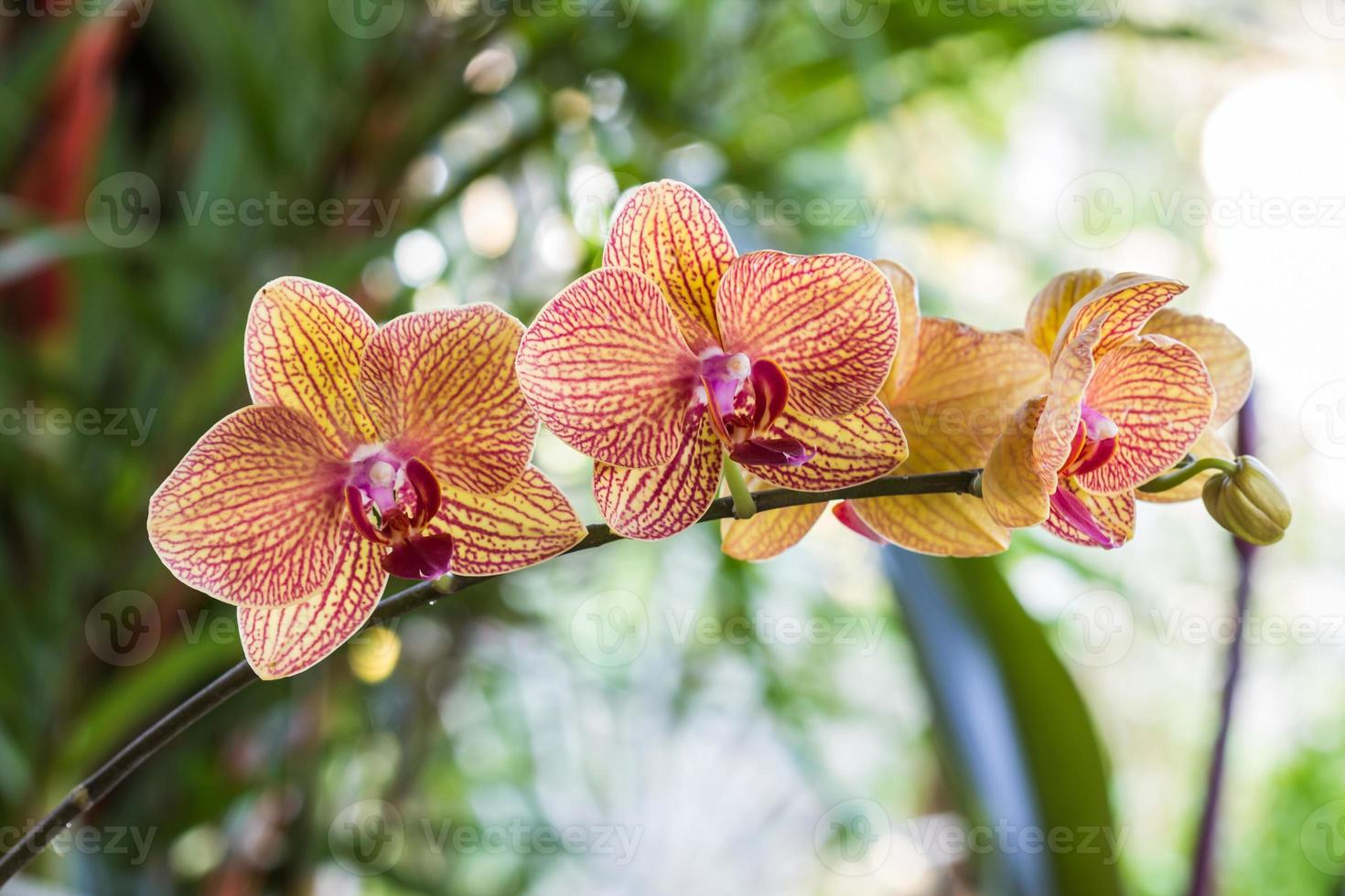 phalaenopsis, plantas tropicales de flor de orquídea en flor de primer plano. foto