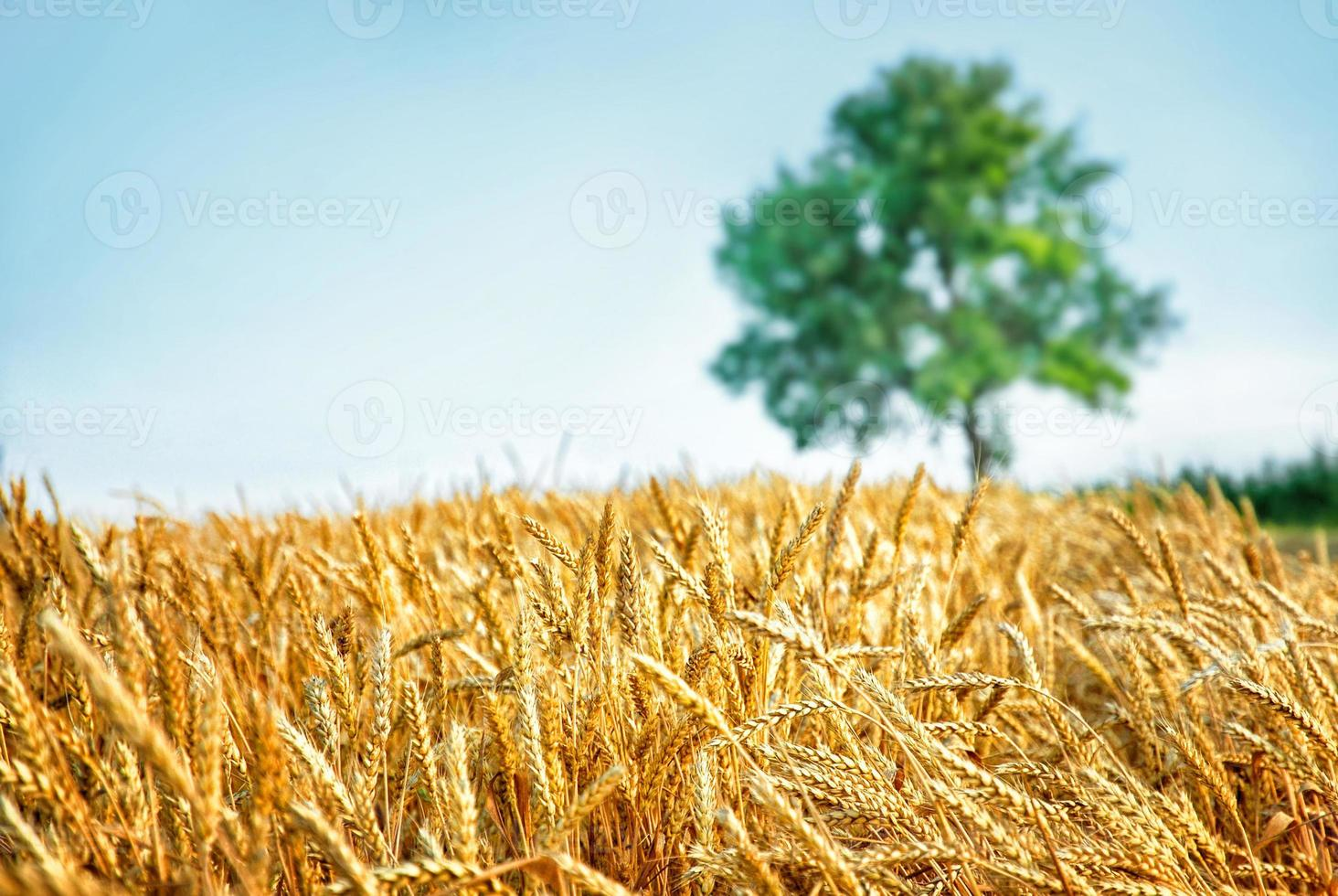 Wheat field and tree photo