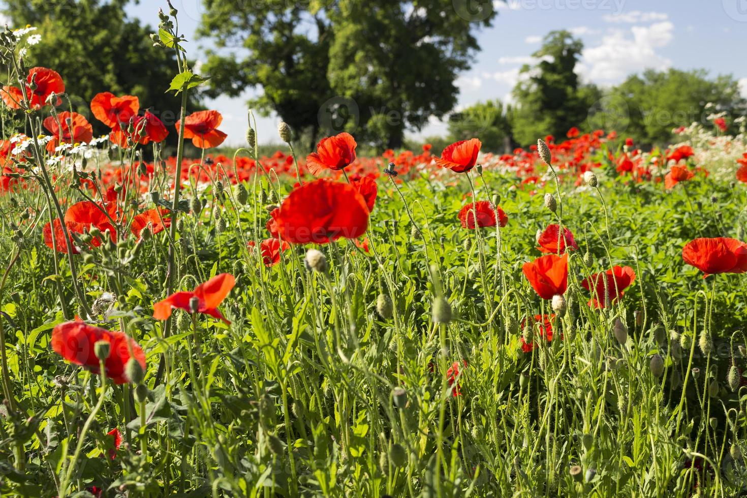 Red poppies fields photo