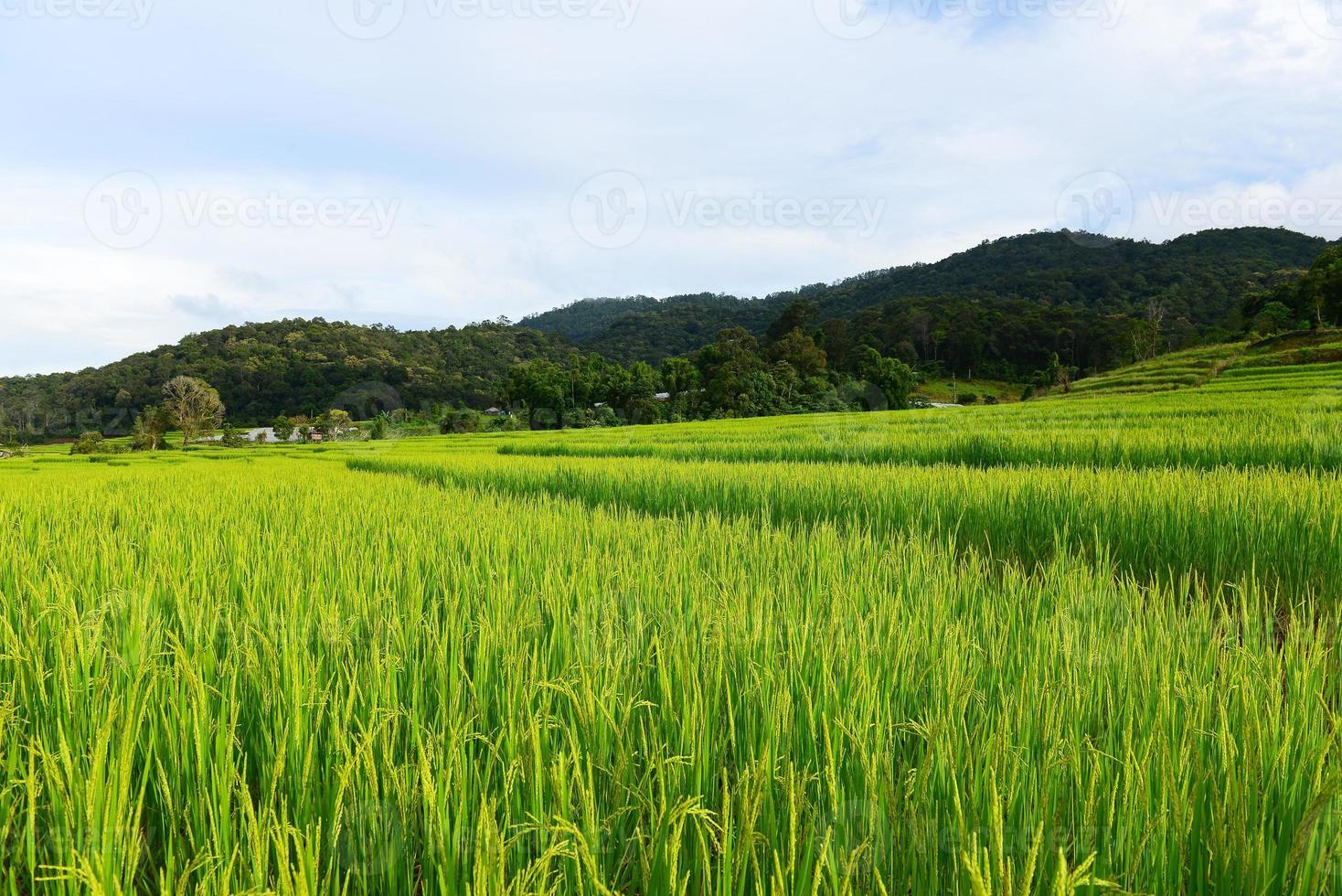 arrozales en temporada verde foto
