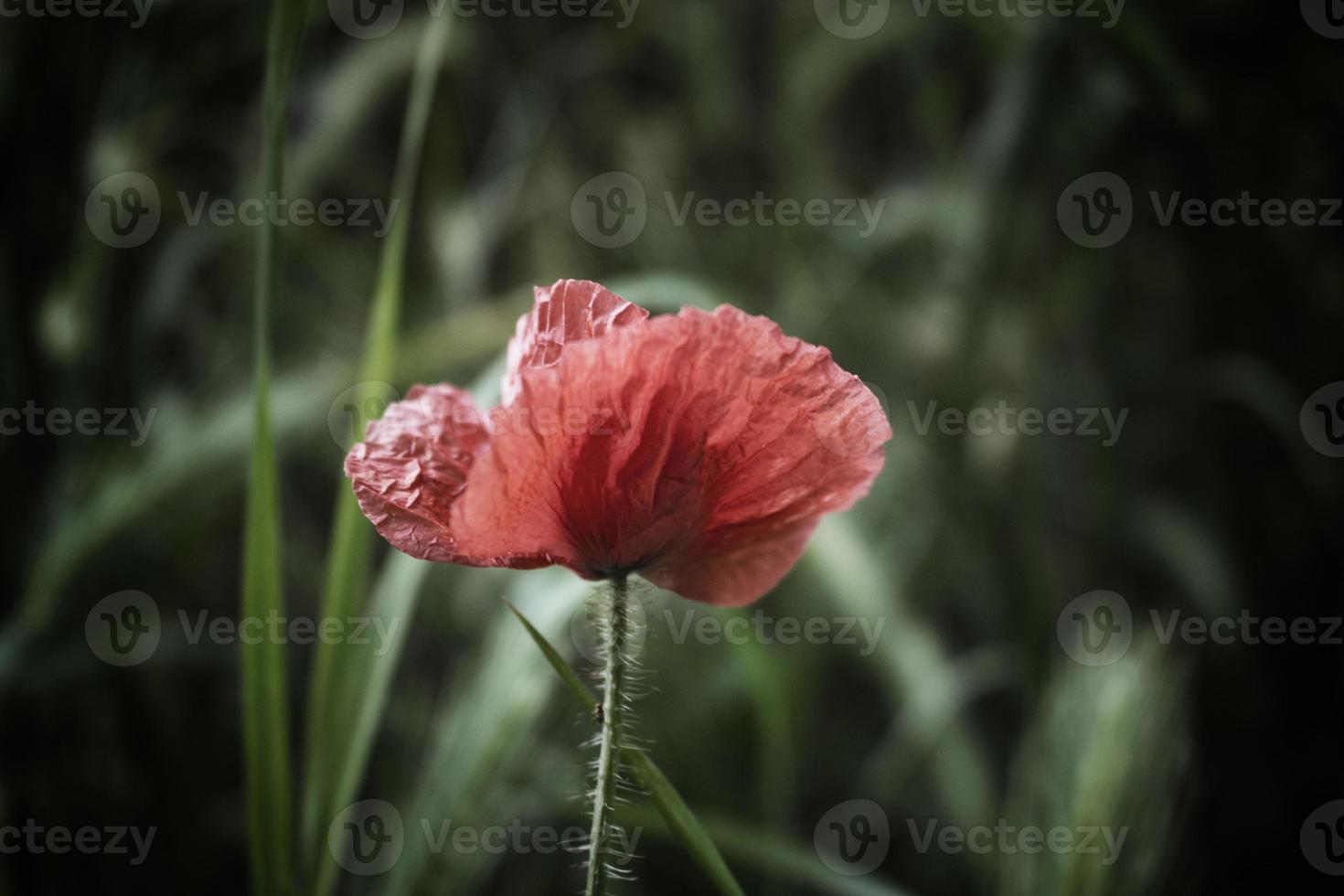 Red poppy dark spot photo