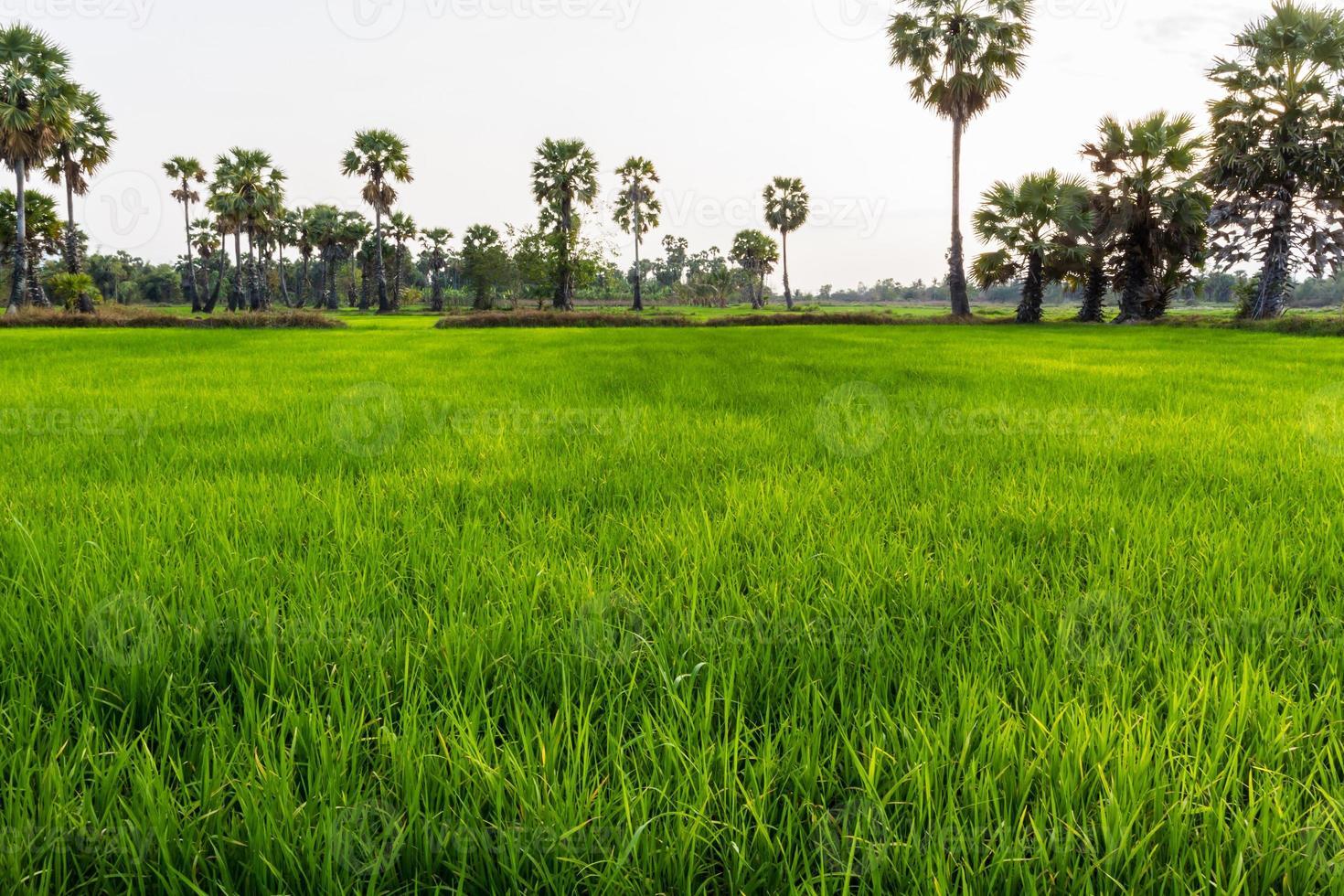 campo de arroz con cáscara. foto