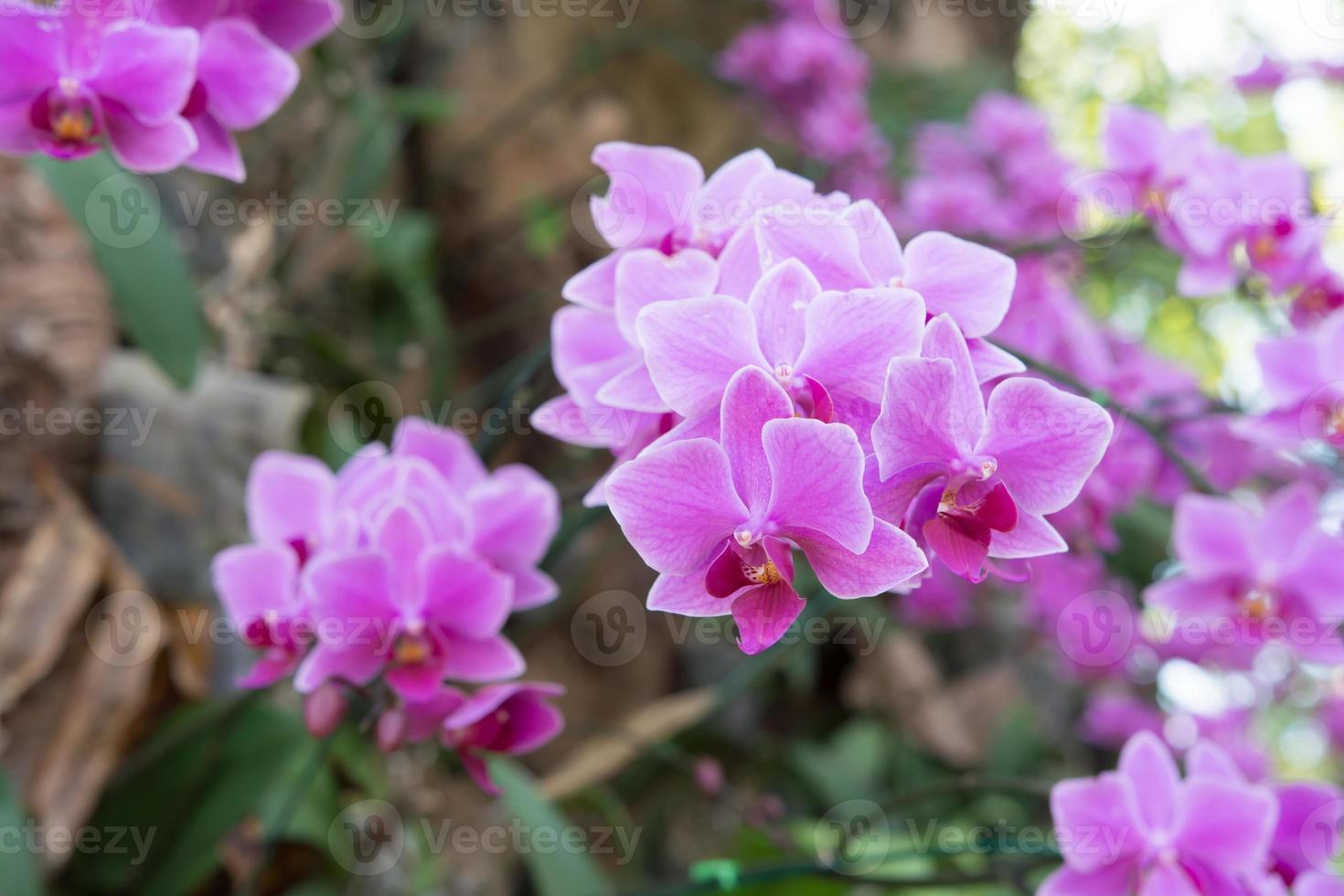 manojo de orquídeas moradas foto