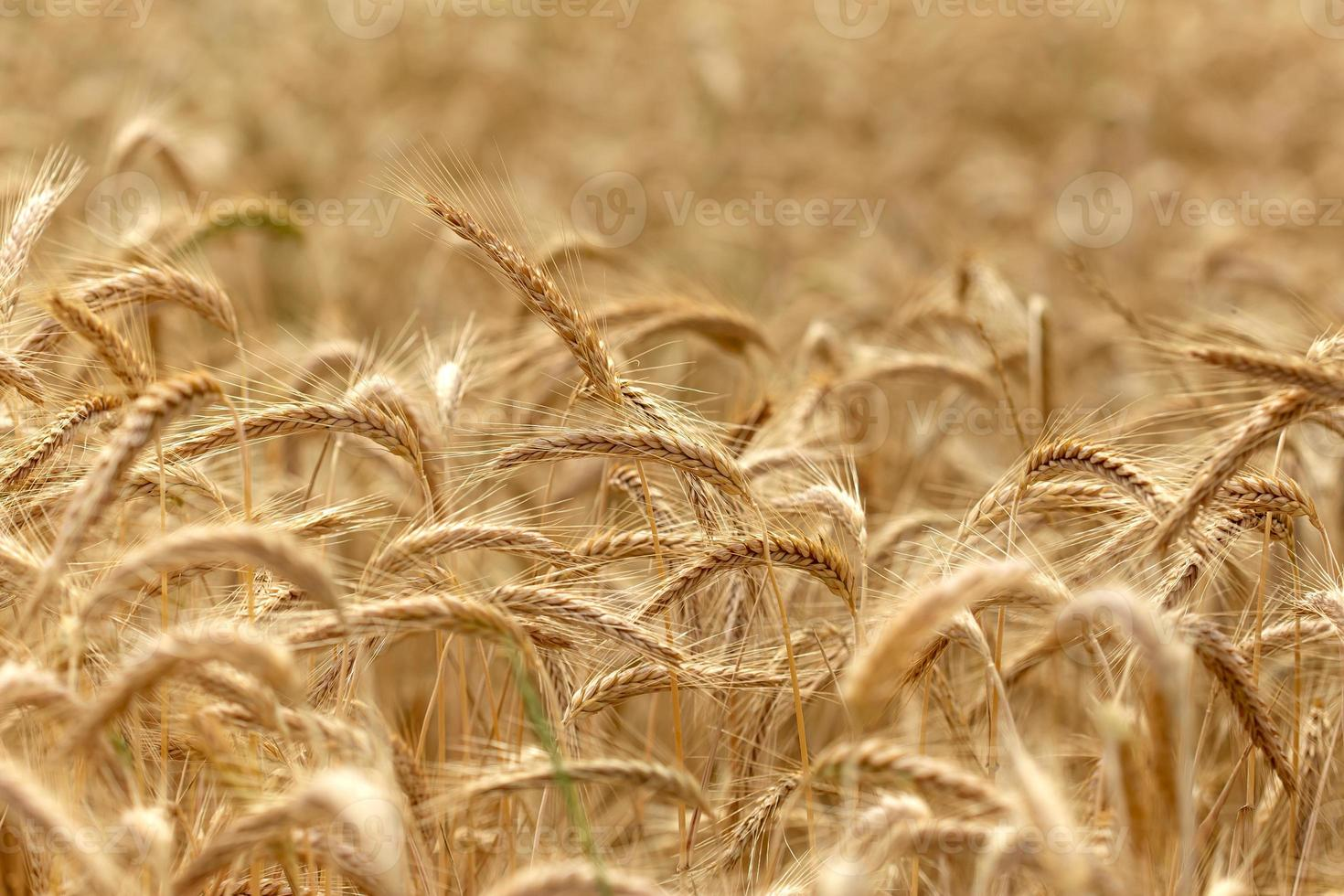 Wheat field - time for harvest photo