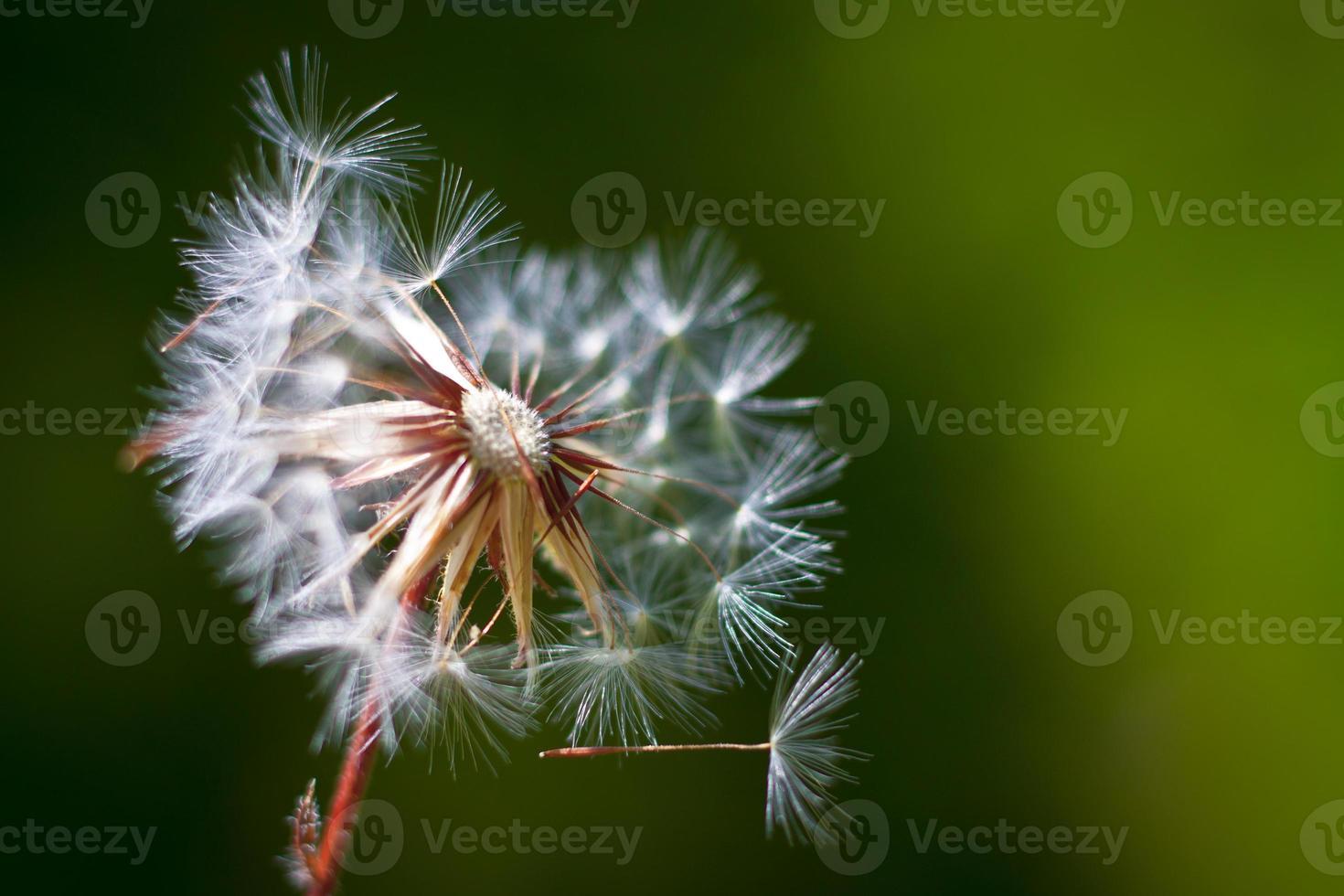 Dandelion flower. Close-up photo