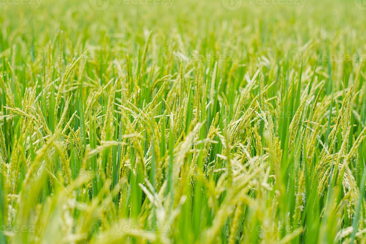 Planta de arroz en campo de arroz. foto