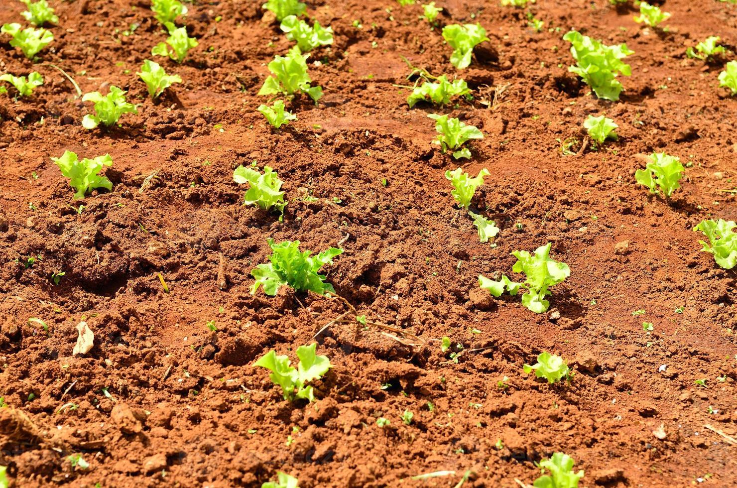 Lettuce plants on a field photo
