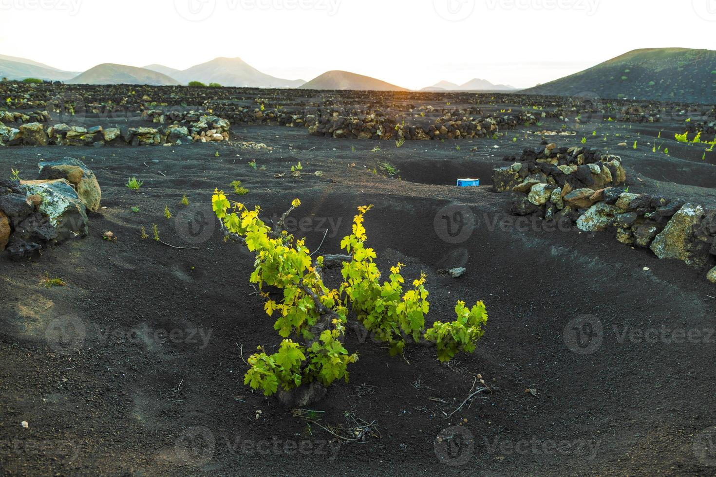 beautiful grape plants grow on volcanic soil in La Geria photo