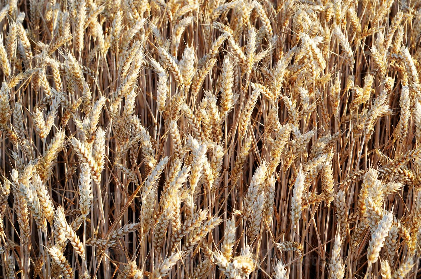 trigo dorado en el campo foto