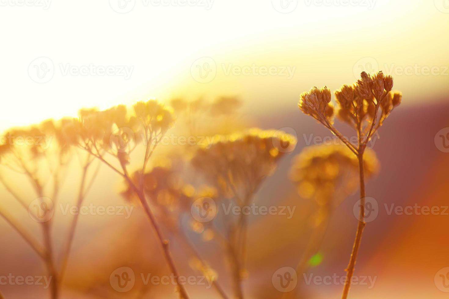 silhouette of dried flowers and plants on a background sunset photo