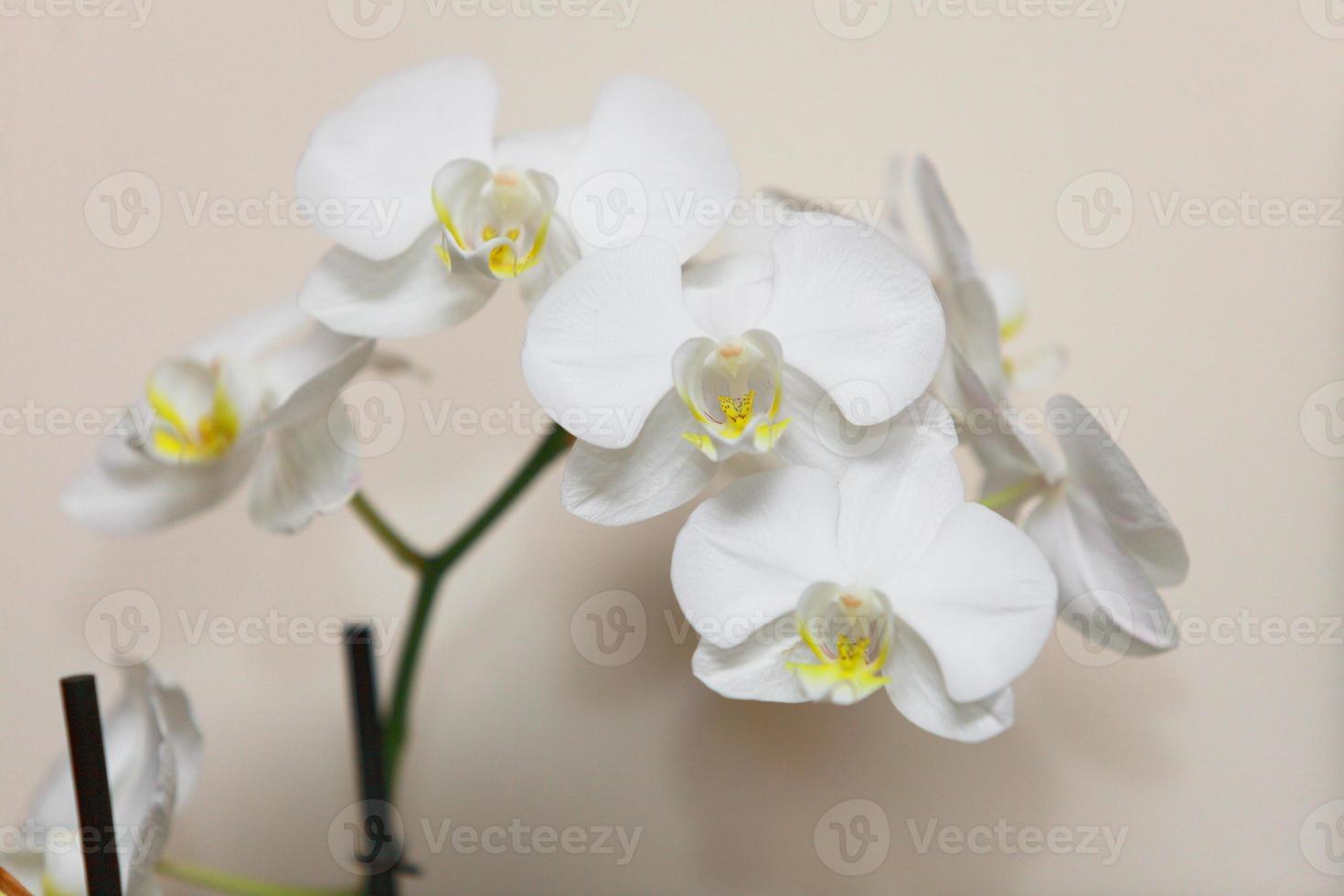 phalaenopsis. Orquídea blanca sobre fondo de pared foto