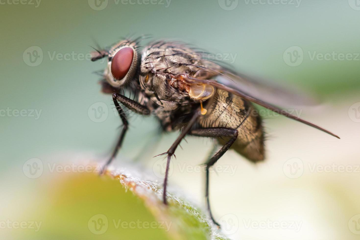 House Fly photo