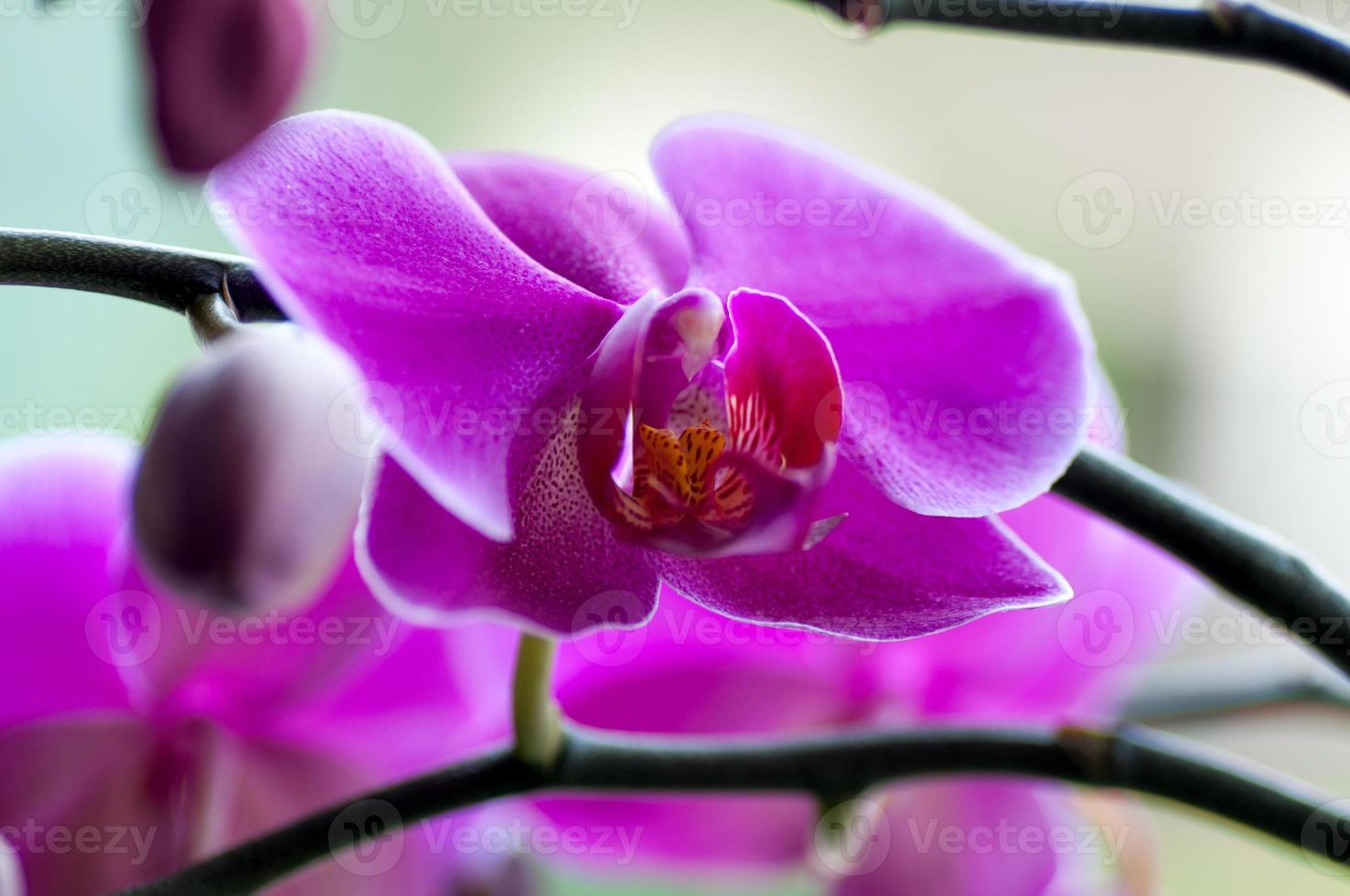 close up of Beautiful purple orchid - phalaenopsis Orchis purpurea photo