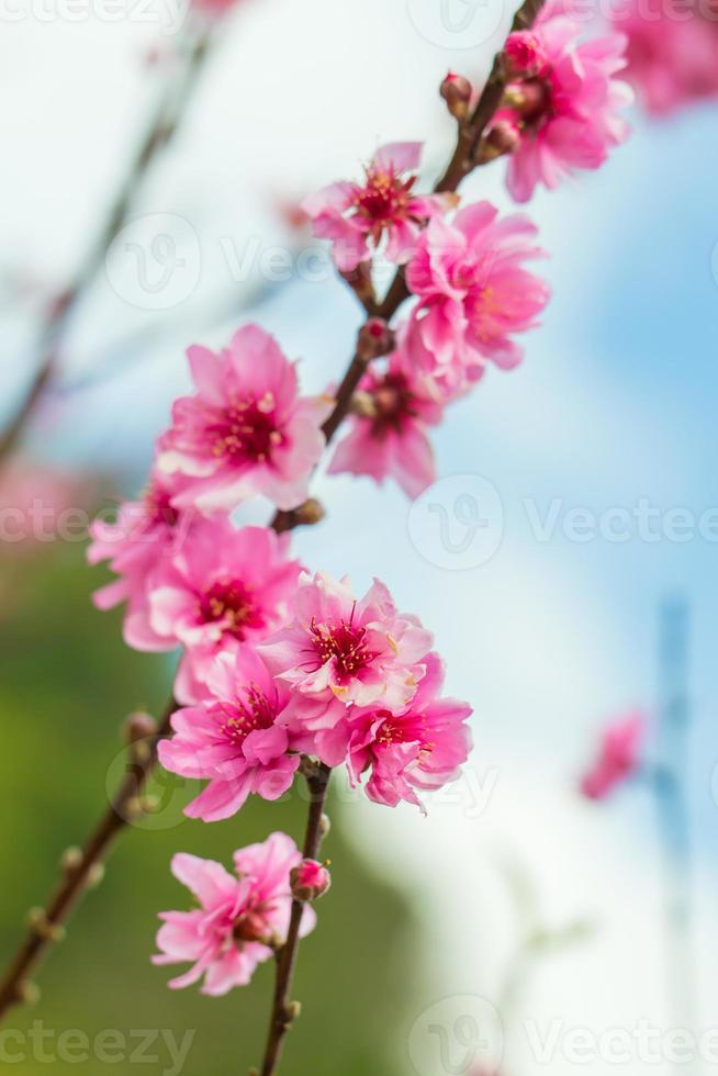 Wild himalayan cherry spring blossom. photo
