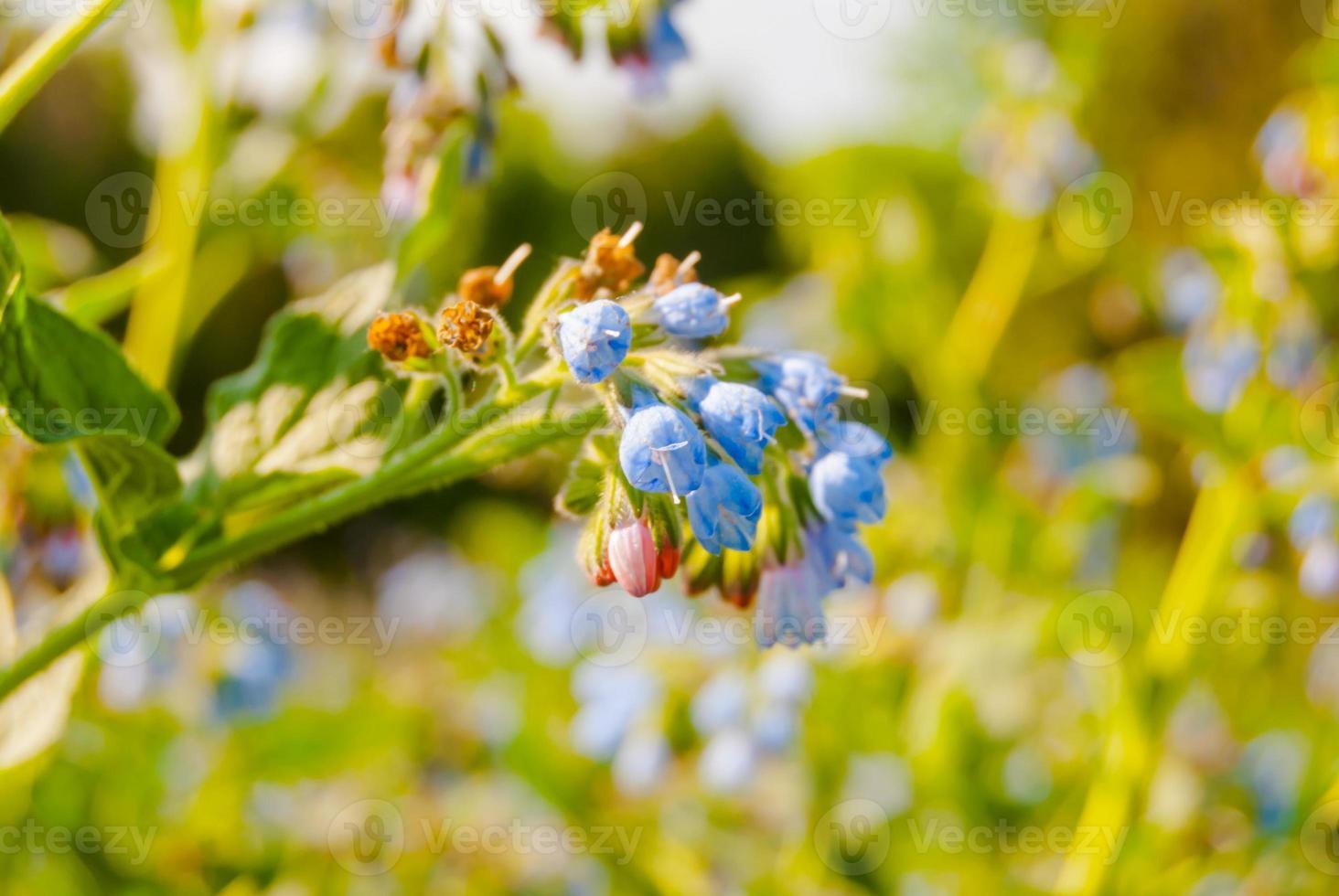 blue wildflowers photo