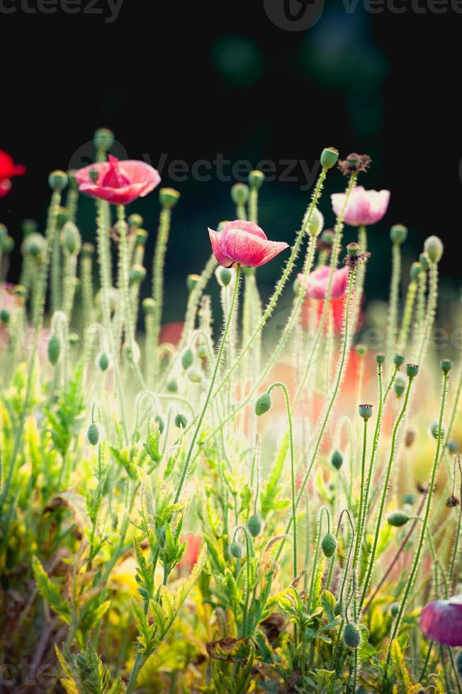 Opium poppy flower in garden at angkhang mountain Thailand photo