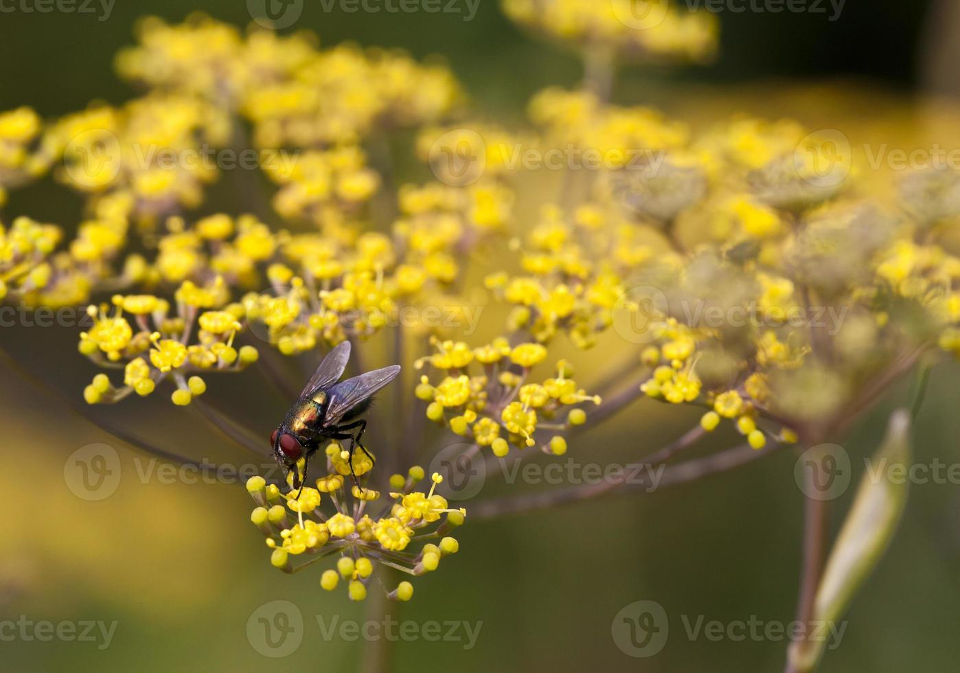 House fly, Musca domestica photo