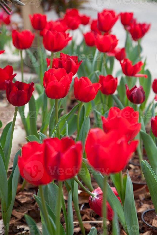 tulipanes rojos foto