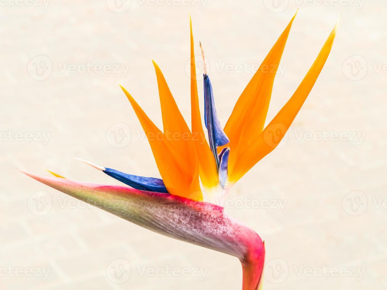flor de ave del paraíso foto
