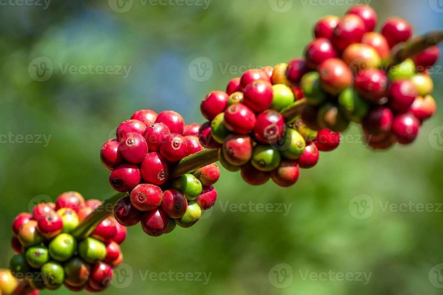 granos de café madurando en un árbol foto