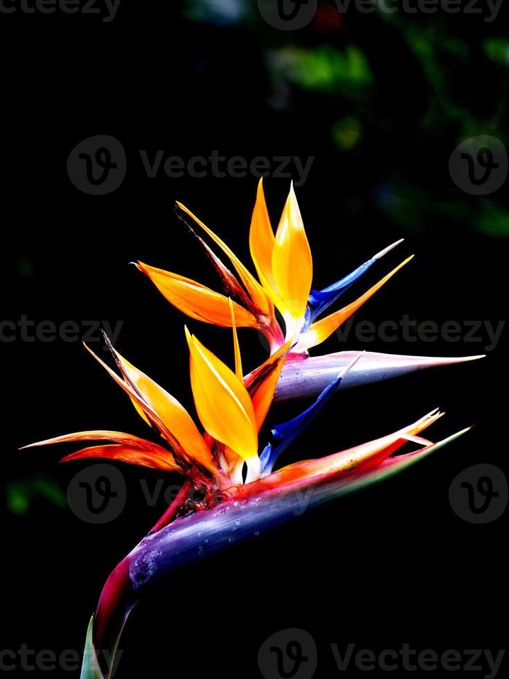 la flor ave del paraíso foto
