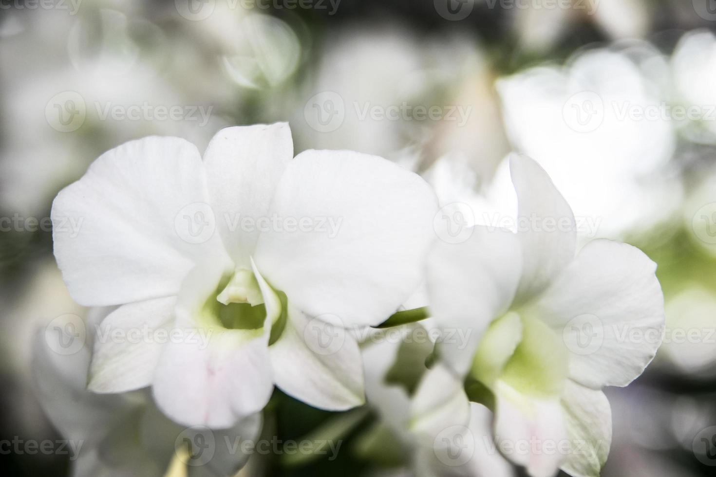 linda flor de orquídea tailandesa foto