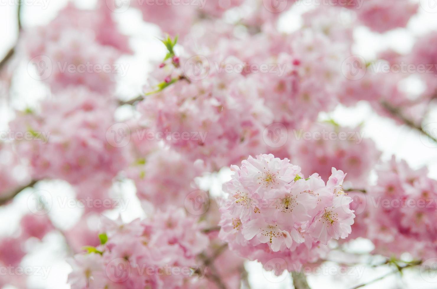 primavera sakura flor de cerezo en japón foto