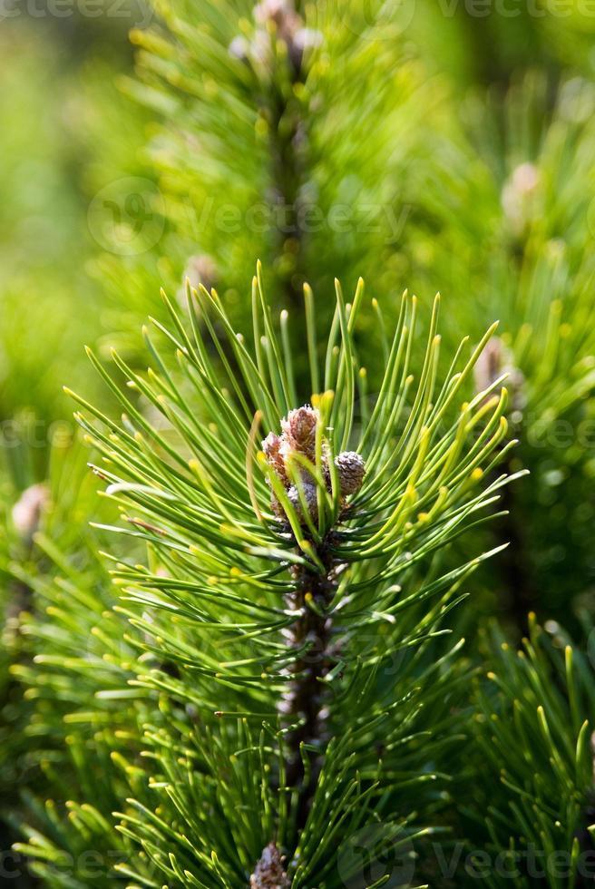 ramo de pinheiro foto