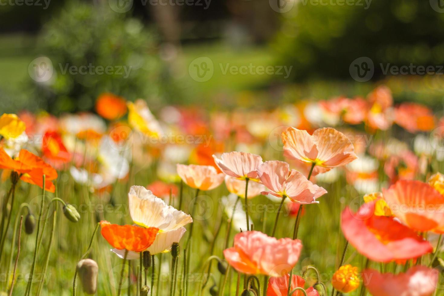 sfondo di papaveri di primavera foto