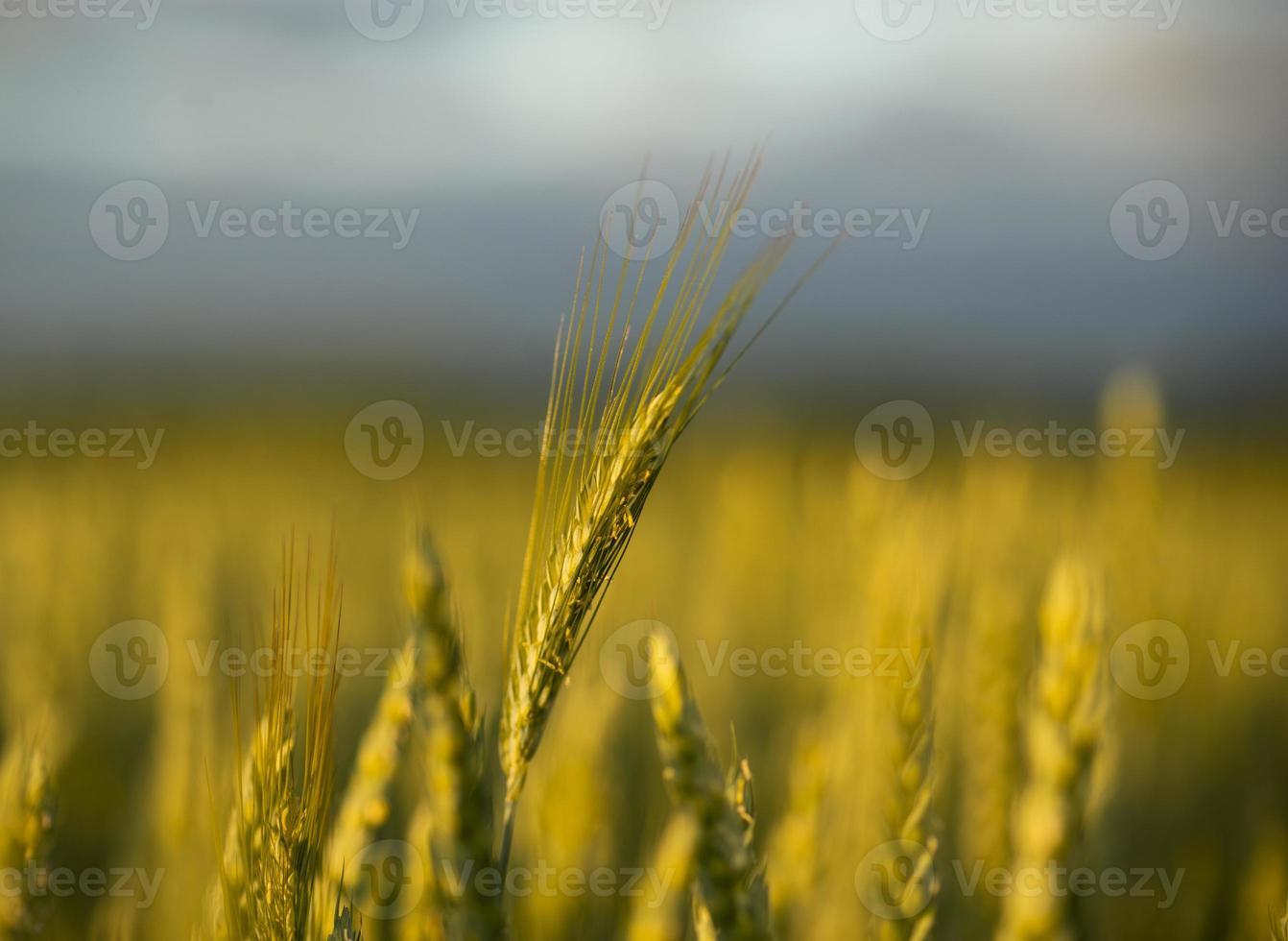 wheat in field photo