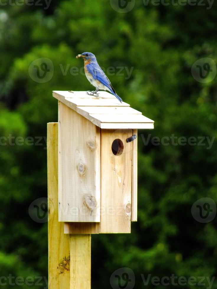 Bluebird on bird house photo