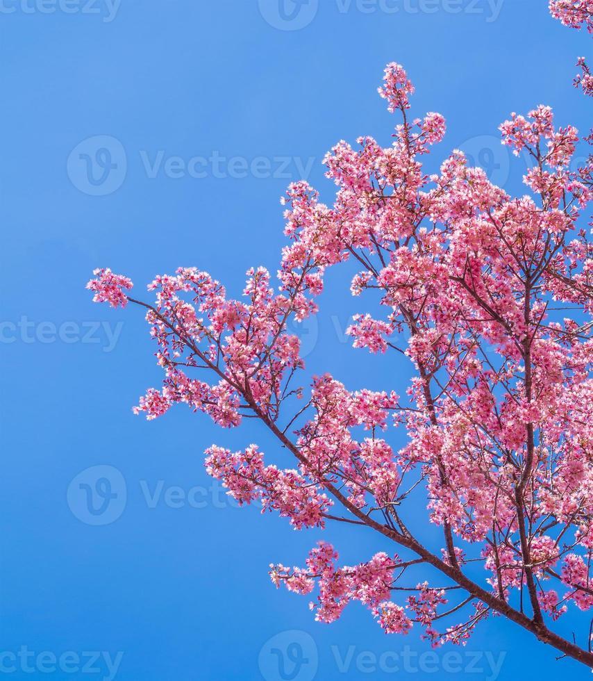 roze kersenbloesem op blauwe hemelachtergrond foto