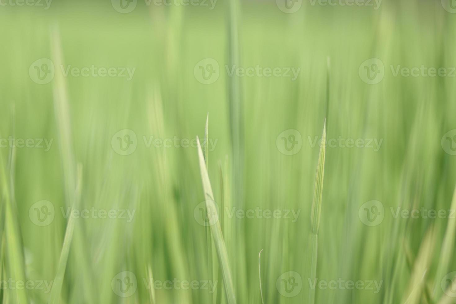 rijst veld textuur achtergrond wazig. foto