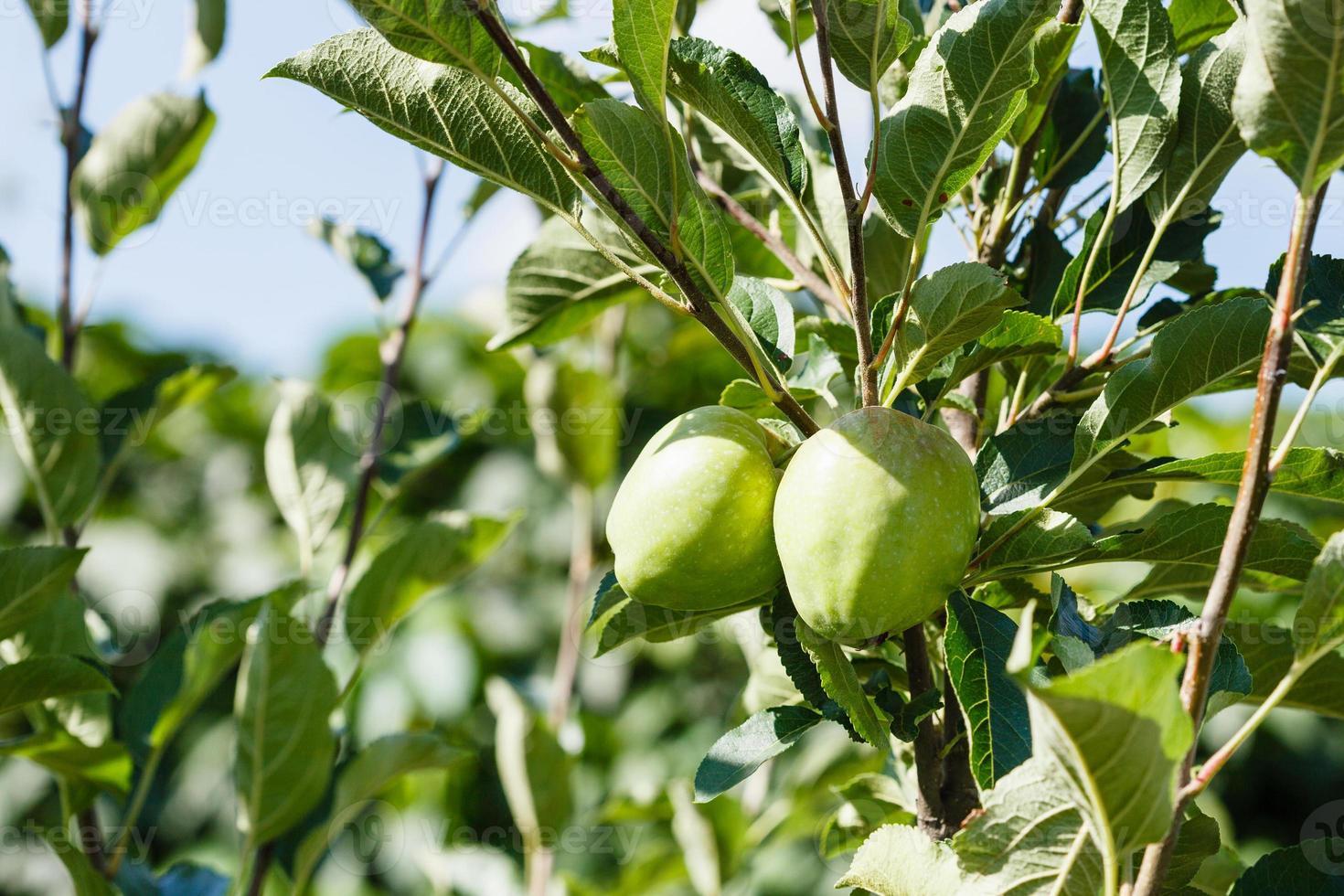 pommes vertes sur une branche d & # 39; arbre photo